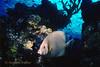 GRAY ANGELFISH - Often swim in pairs