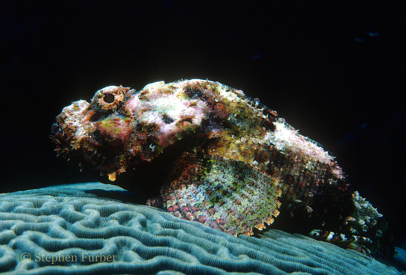 "SPOTTED SCORPIONFISH -  A venomous species; have a type of ""sting"" in the form of sharp spines coated with venomous mucus. They usually lie motionless, blending with background"