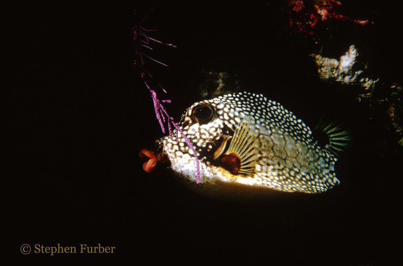 SMOOTH TRUNKFISH - Hot Lips! A very cute fish that swims in a funny paddling motion. They have a hard exoskeleton body as type of defense