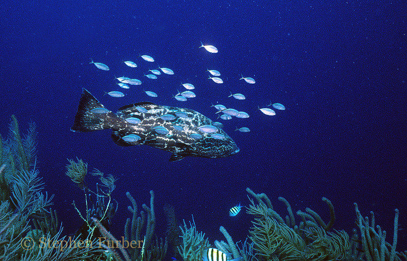 BLACK GROUPER - And friends; shy and hard to approach