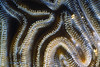 BOULDER BRAIN CORAL - Closeup; polyps extended