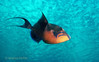 QUEEN TRIGGERFISH - Likes to eat an occasional sea urchin; relatively shy