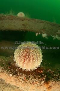 Epsilon Urchin
