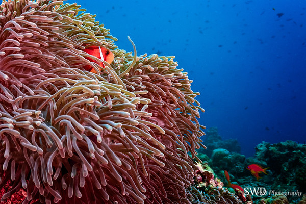 Pink Anemonefish - Maldives