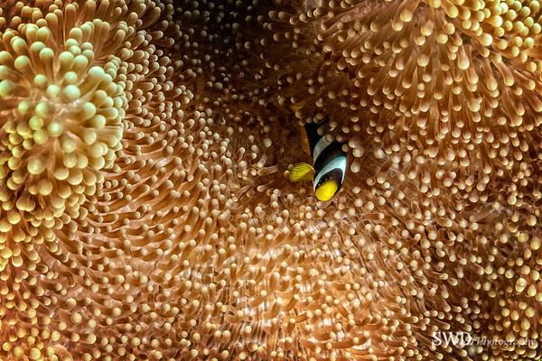 Clark's Anemonefish - Maldives