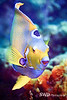 Queen Angelfish - Grand Cayman