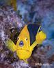 Rock Beauty - Little Cayman