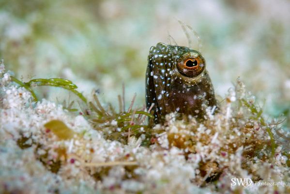 Sailfin Blenny - Little Cayman