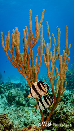 Pair of Banded Butterflyfishes
