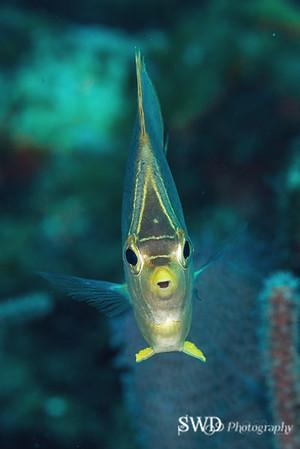 Butterflyfish head-on