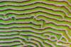 Knobby Brain Coral Closeup