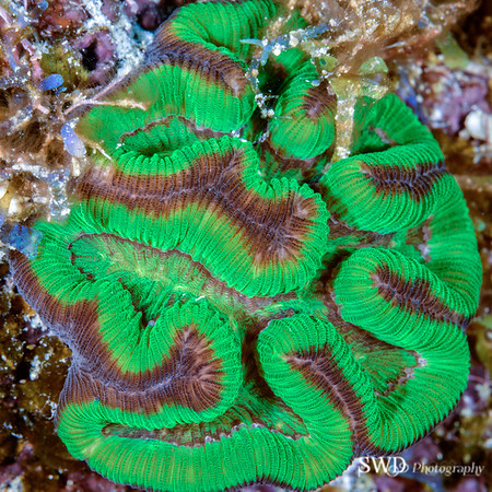 Cactus Coral