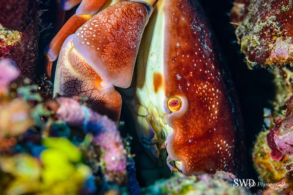 Batwing Coral Crab