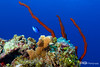Seascape:- Robe Sponge and Blue Chromis