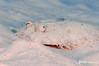 Maculated Flounder
