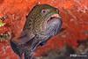 Tiger Grouper