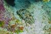 Slipper Lobster, Grand Cayman