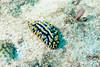 Swollen Phyllidia Dorid Nudibranch