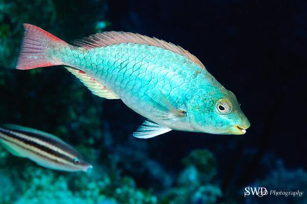 Redband Parrotfish