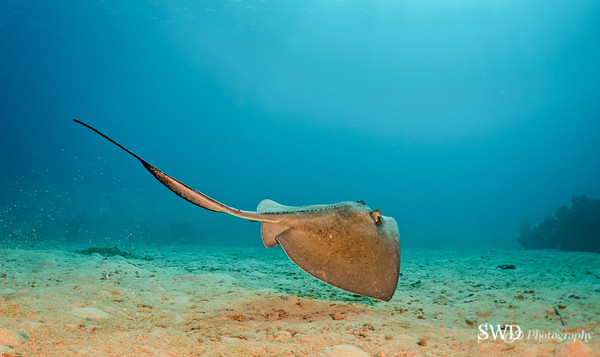 Stingray, Grand Cayman, Grand Cayman