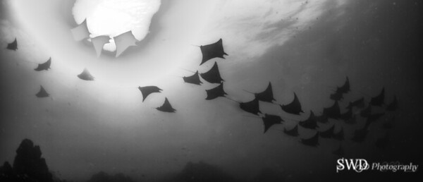 School of Mobula Rays, Costa Rica