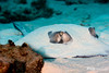 Caribbean Whiptail Sitngray