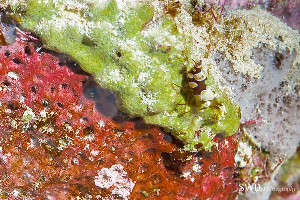 Squat Anemone Shrimp