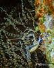Pederson Cleaner Shrimp