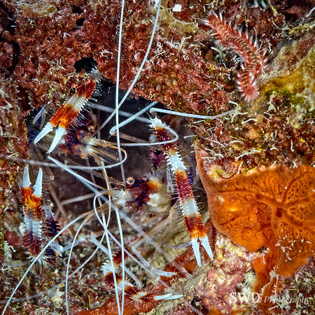 Cramped Quarters - Two Coral Banded Shrimp sharing a hole in the Coral while a Fireworm crawls by.