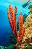 Little Cayman Seascape - Red-Orange Branching Sponge