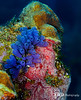 Blue Bell Tunicate and Red Encrusting Sponge