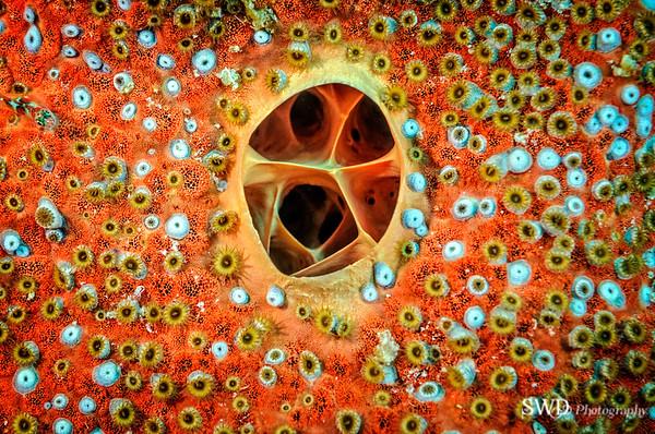 Closeup of Sponge's Osculum