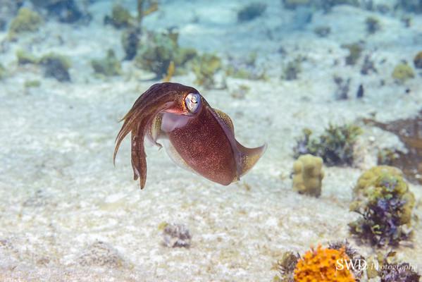 Caribbean Reef Squid
