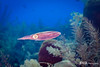 Caribbena Reed Squid
