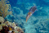 Caribbean Reed Squid