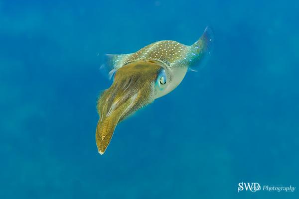 Caribean Reef Squid
