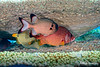 Oranged-lined Triggerfish; Bronze Soldierfish; Giant Soldierfish
