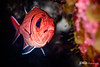 Blackbar Soldier Fish