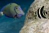 Juvenile French Angelfish - Ocean Surgeonfish