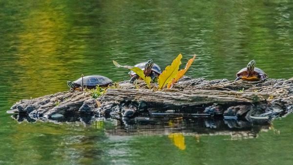 Three Painted Turtles - Cape Cod