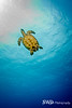 Going up for air - Hawksbill Turtle ascending