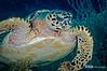 Hawksbill Turtle, Belize