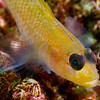 Blackeyed goby