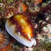 Chestnut Cowry next to a small brown cup coral