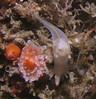 Ancula gibbosa * (photo by J. Tople)
