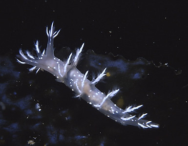 Dendronotus sp. (photo by R. Carlson)