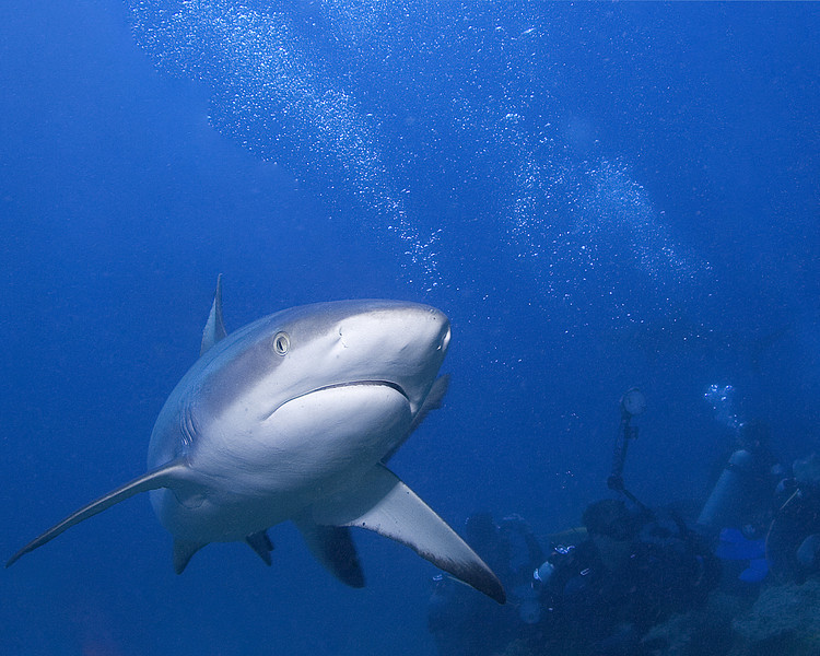 Grey Reef Shark - Nigali Passage