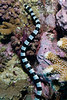 Yellow-Lipped Sea Krait (Laticauda colubrina)