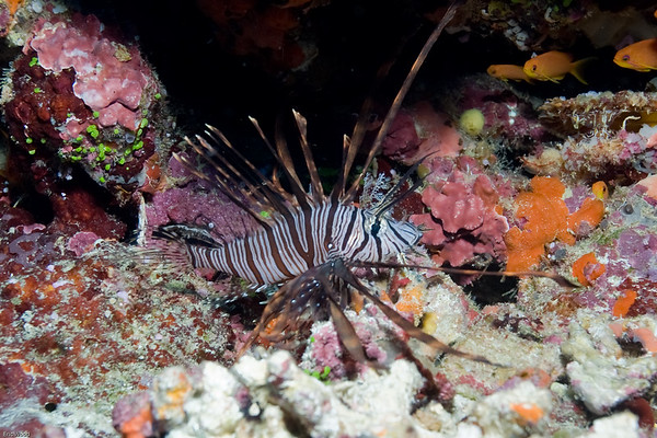 Lion Fish (not sure which species yet)