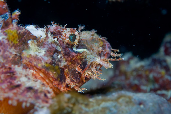 Scorpion Fish (not sure which species yet)